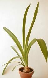 amaryllis v plné vegetaci