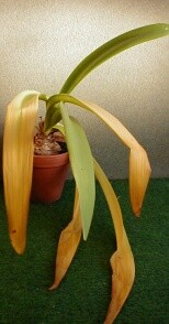 amaryllis se chystá na zimní spánek